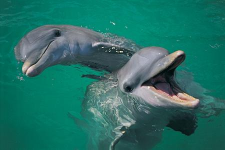 2 playful dolphins at Jervis Bay