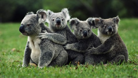 Visit the free koala hospital