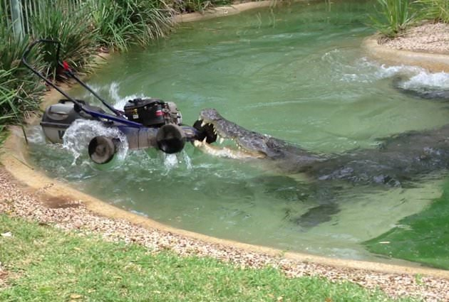 Croc eating lawnmower