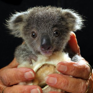 Blue Mountains Campervan Hire - visit baby Koalas