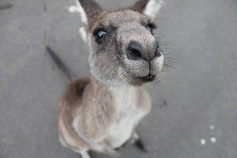 things to do in Atherton Tablelands - see wild kangaroos