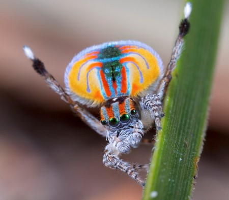 (Peacock Spider by Jurgen Otto, CC BY-SA 2.0, https://commons.wikimedia.org/w/index.php?curid=31209998)