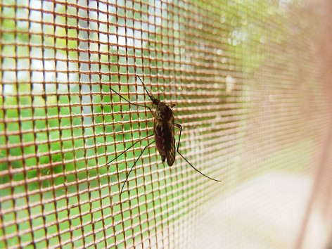 Mosquitoes can transmit Denque fever