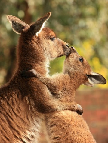 Feed kangaroos in the best zoos in Australia