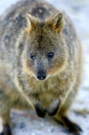 A Quokka is one of the most native animal in Australia and a highlight in animal parks
