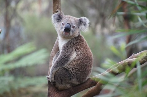 Yeah - We love more koalas!!! Look closely and you will see many of them hiding in trees.