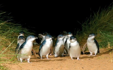 The reason that attracts millions of visitors each year - Phillip Islands' Penguin Parade