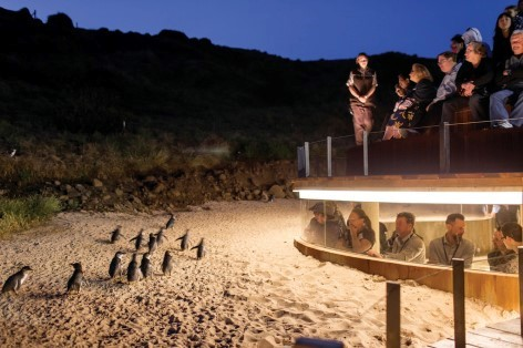 The smallest penguins at Phillip Island
