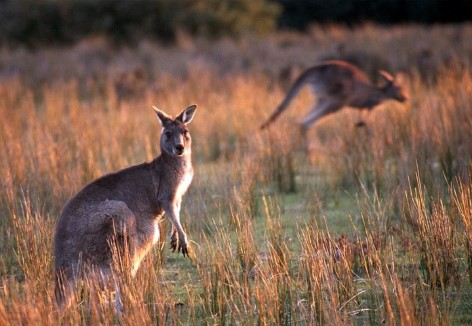 Kangaroos near Cotters Lake at Wilsons Promontory