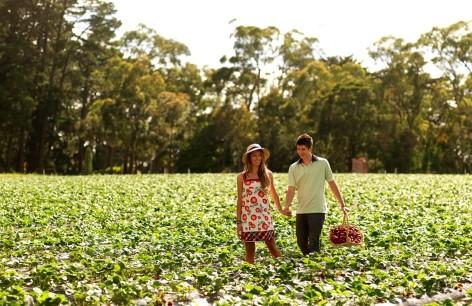 Sunny Ridge Strawberry Picking