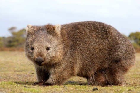 Watch wombats on your Wilsons Prom Tour