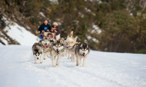 Husky dog sled tour